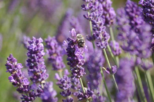 Bombus sp on Lavender