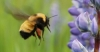 b-nevadensis-closeup-flying-towards-lupine-6-3-12