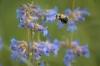 bumble-bee-visiting-a-taperleaf-penstemon-flower