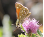 western-branded-skipper (lateral-view) on-purple-flower-moscow-mnt-9-7-12