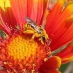 Agapostemon sp. (Halictidae)