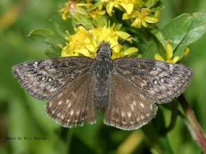 Persium duskywing butterfly