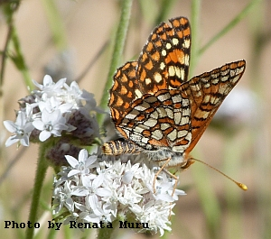 Sagebrush Checkerspot  butterflyy