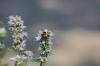Bombus sp on a lavender flower.