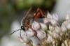 Great Golden Digger Wasp - Sphex ichneumoneus http://www.cirrusimage.com/hymenoptera_Great_Golden_Digger_Wasp.htm