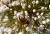 Bee on onion plant,